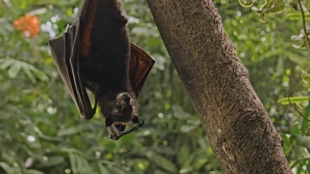 Ein schwarzer Flughund hängt kopfüber an einem Baum in seinem gewohnten Lebensraum in einem Wald mit grünen Pflanzen