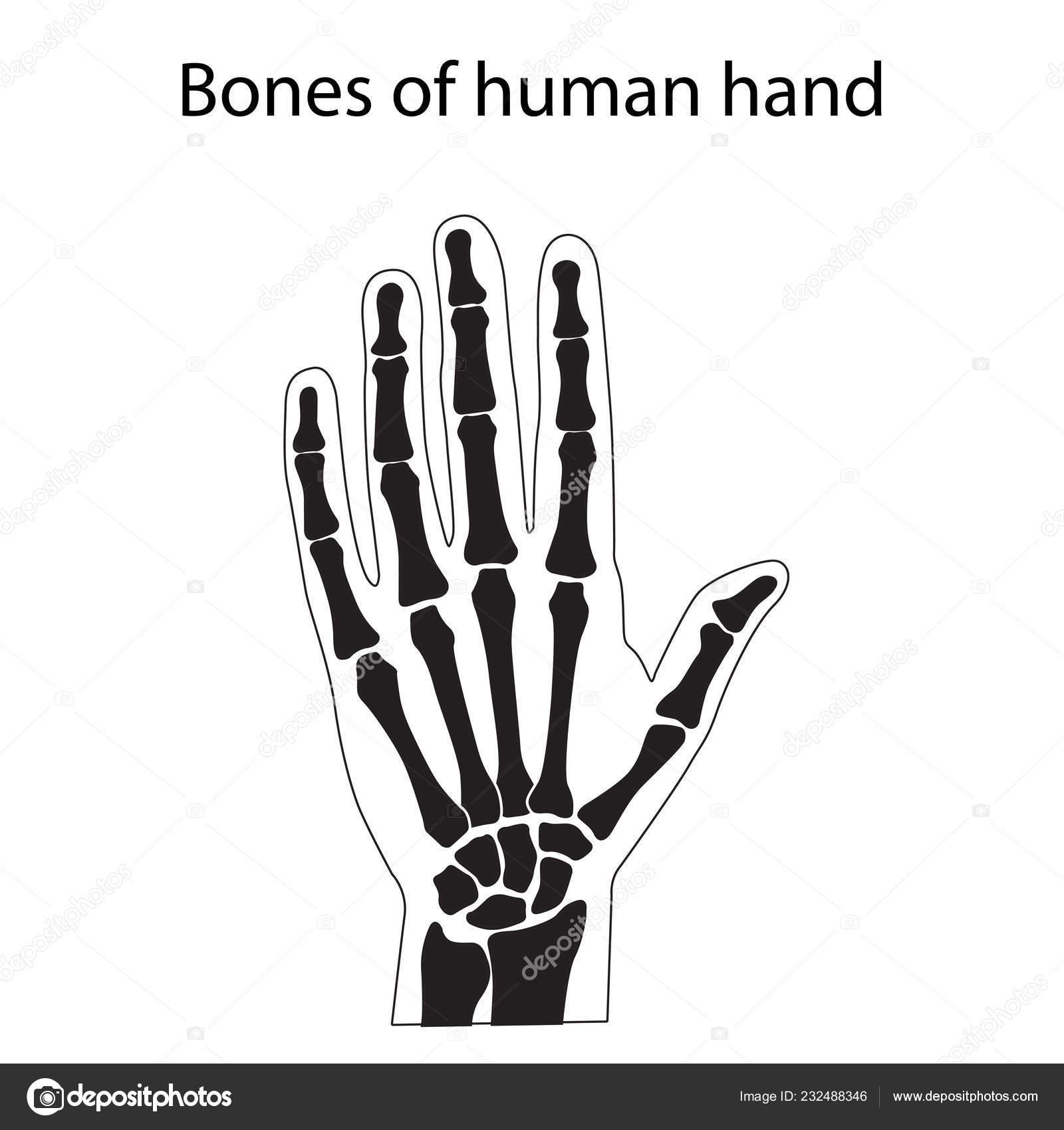 Vector Illustration Of Human Hand Skeletal Anatomy Stock Vector