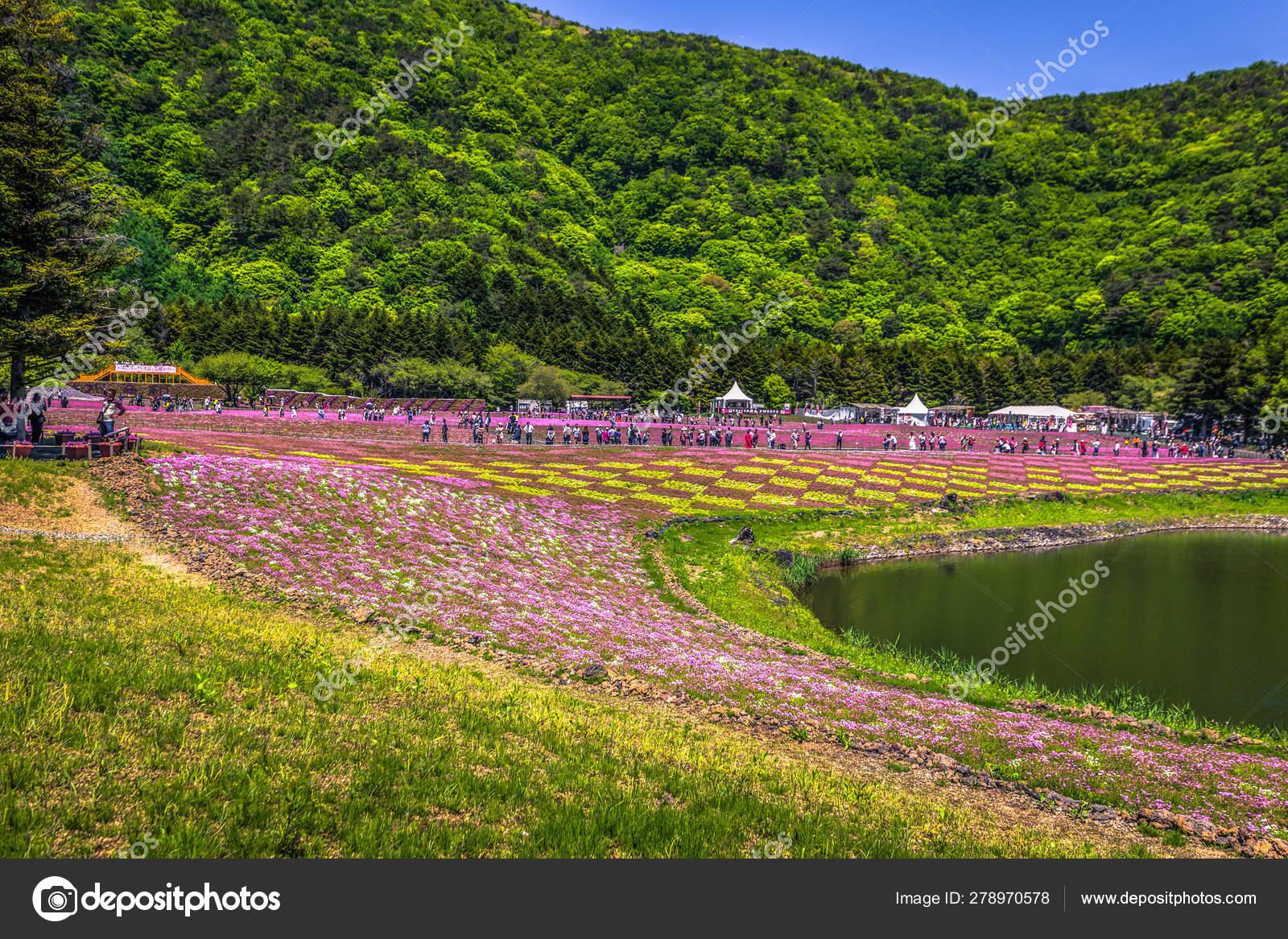 Motosu - May 24, 2019: Flower fields of Shiba-Sakura