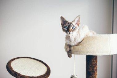 Little Devon Rex cat is sitting on top of scratching post. Pure breed indoor cat.