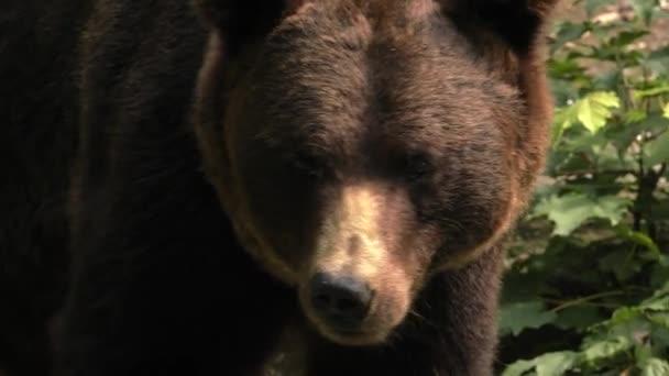 Medvěd hnědý hledá jídlo. 4k Uhd, 50p, posouvání, Closeup,