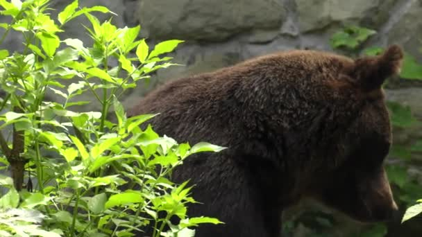 Brown bear looking for food. 4K, UHD, 50p,Panning,Closeup,