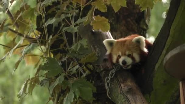 Panda červená sedí na stromě. Odpočívá. 4k Uhd, 50p, posouvání, Closeup,