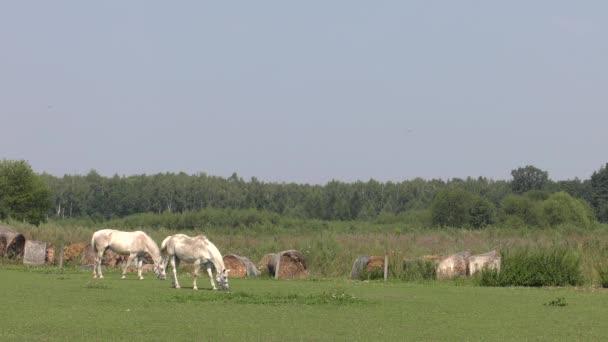 Koně se pasou na louce. Jedí trávu. 4k Uhd, 50p, 60p, posouvání, Closeup.