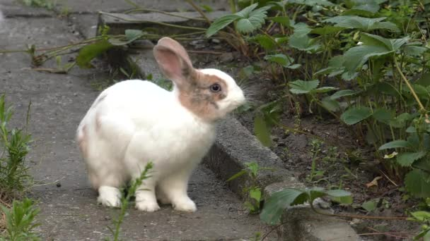der charmante weiß-braune Hase. grünes Gras im Garten. 4k, uhd, 50p, 60p, Schwenken, Nahaufnahme,