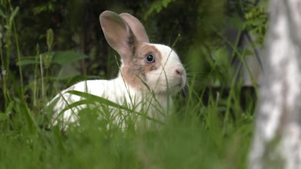 Okouzlující bunny bílo hnědá. Zelená tráva na zahradě. 4k Uhd, 50p, 60p, posouvání, Closeup,