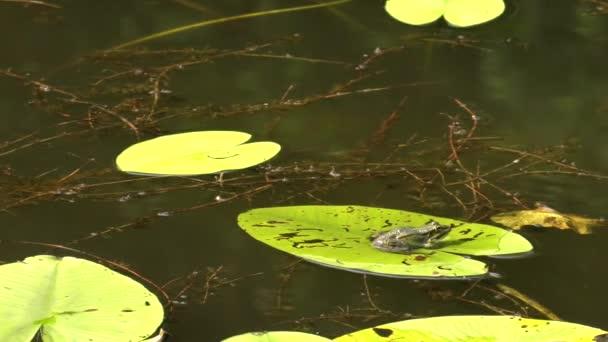 Mokrý žáby sedící na list uprostřed jezera. Lekníny v pozadí.