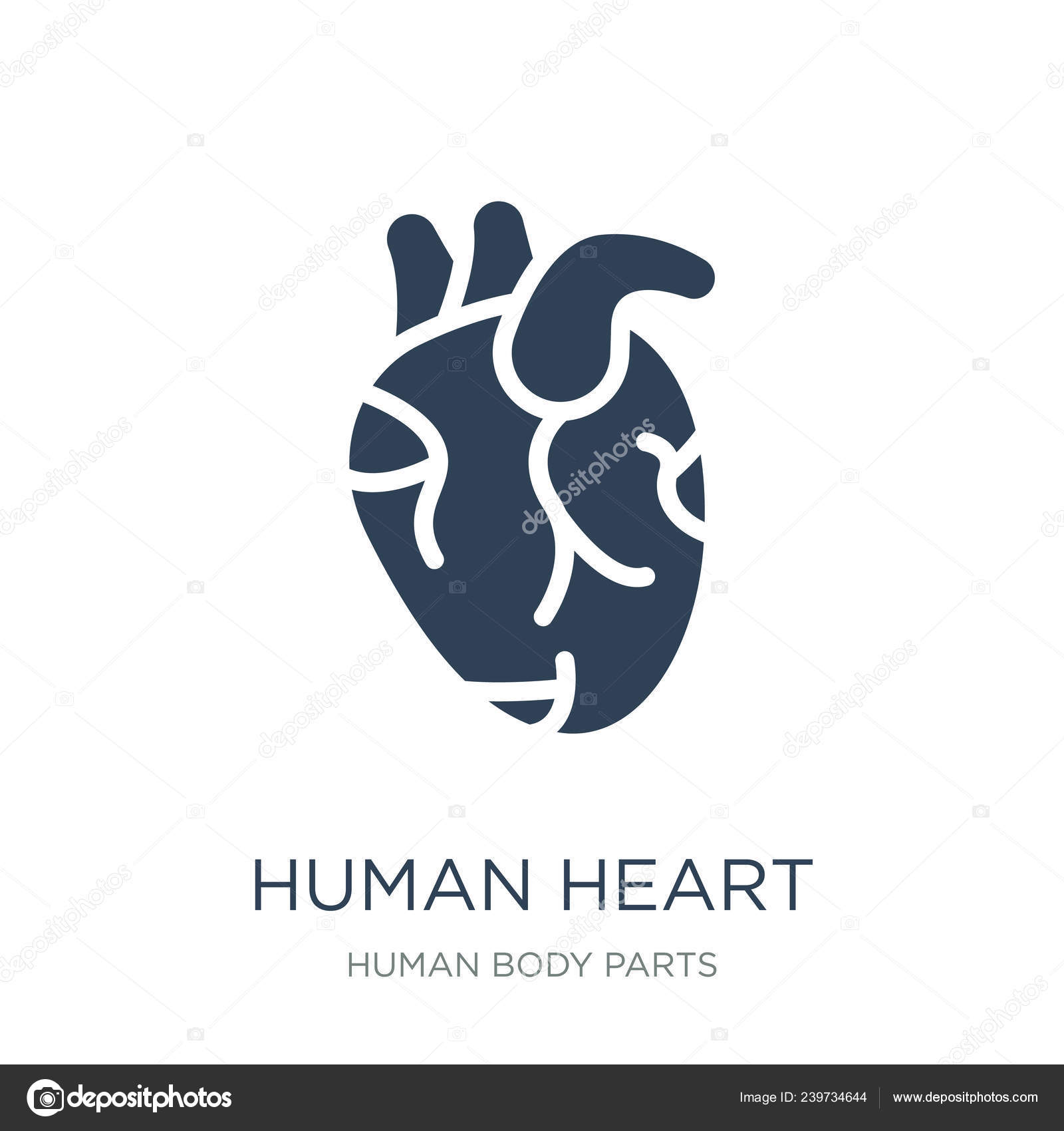 Human Heart Icon Vector White Background Human Heart Trendy