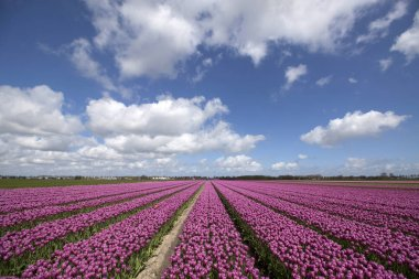 Landscape with innumerable purple colored tulips in a row in a Dutch spring landscape on a sunny day