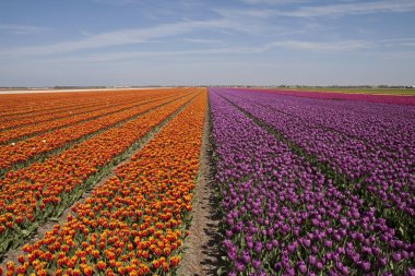 Landscape with innumerable colored tulips in a row in a Dutch spring landscape on a sunny day