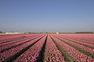 Landscape with innumerable colored pink tulips in a row in a Dutch spring landscape on a sunny day