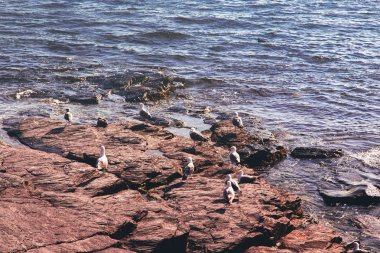 Close view of seagulls sitting on rocky stone shore in Newport, Rhode Island, USA