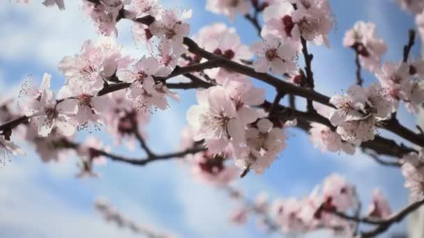 Třešňové květy. Krásné růžové květinové ovoce strom pod modrou oblohou