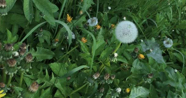 Dandelví květina na louce. Dandelii v terénu se houpají ve větru. Pole dandeliů, letní den