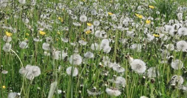 Dandelion flower in meadow. Dandelions in the field swing in the wind. Field of dandelions, summer day