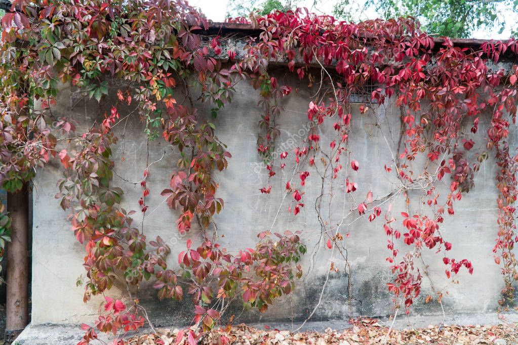 Concrete wall overgrown with grapes