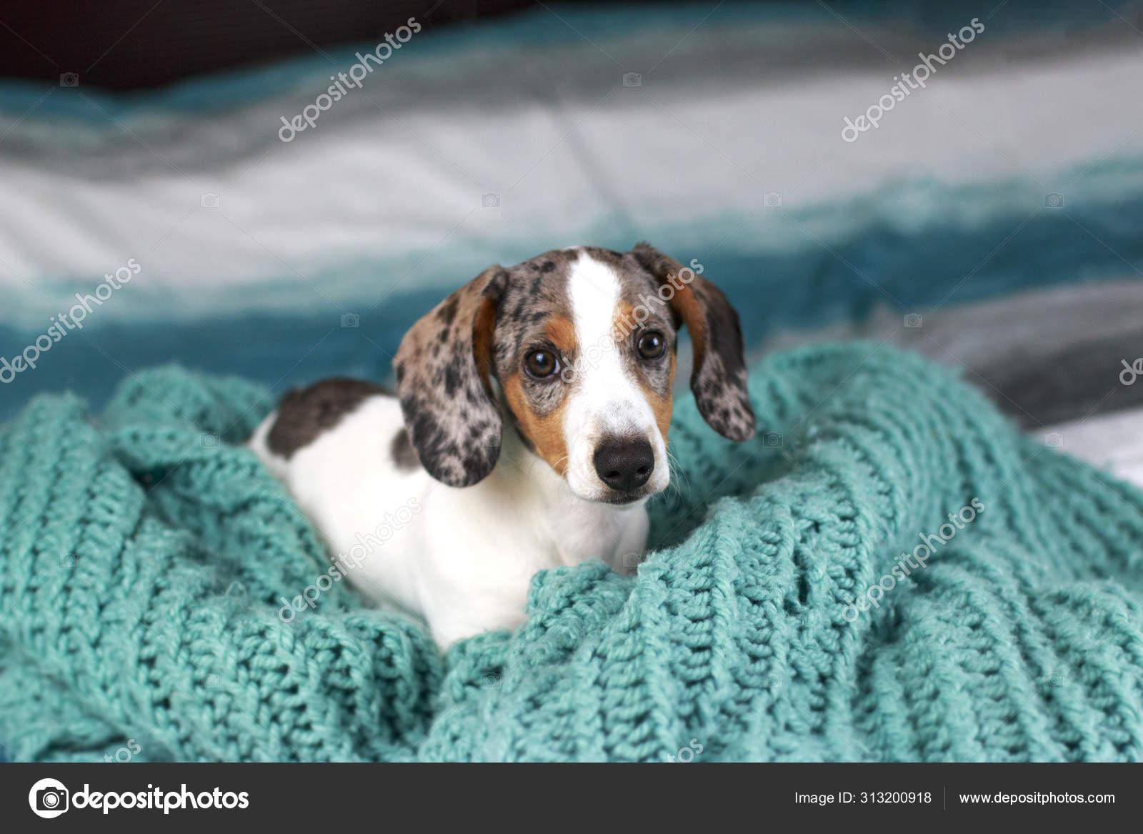 Cute Little Dachshund Puppy Dog Laying His Blue Cozy Blanket Stock Photo C Miriamstockphotos 313200918
