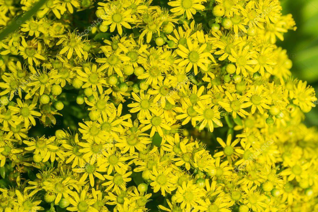 Yellow Flower Cluster on a Aeonium arboreum succulent, California