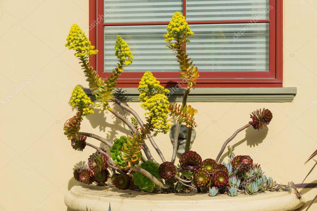 Flowering succulent Aeonium arboretum in a window pot display, California