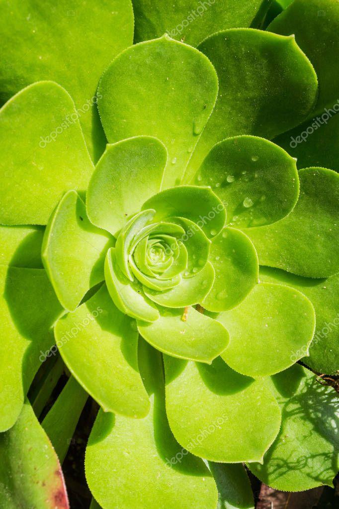 Close up of succulent Aeonium arboretum rosette, California