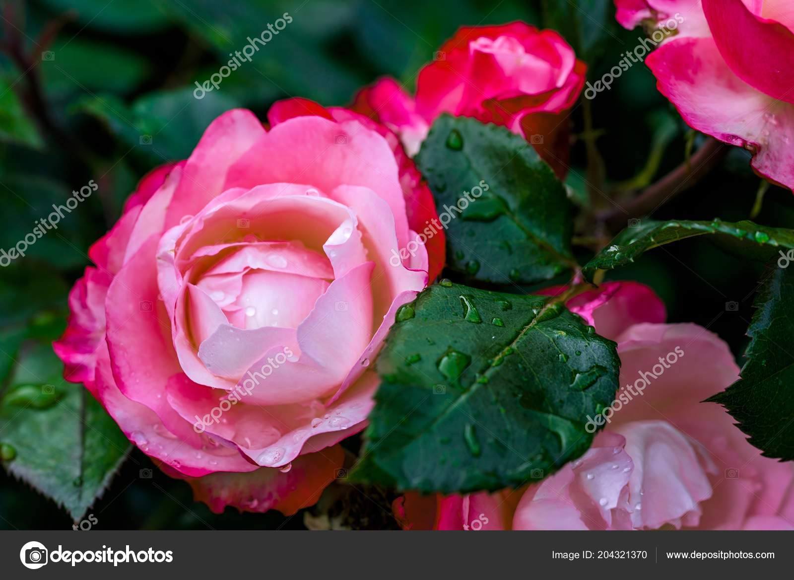 One Beautiful Big Blossoming Bud Rose Red Pink Color Water Stock