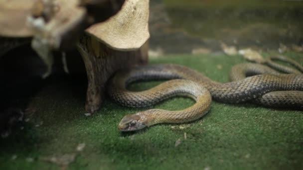 Travní had v teráriu (Natrix natrix)