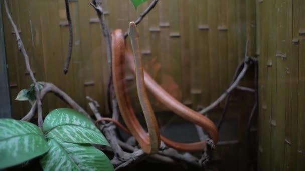 Texas rat snake and turtle in terrarium (Elaphe obsoleta lindheimeri)