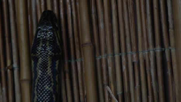 Černý sledoval python v teráriu (Python molurus)