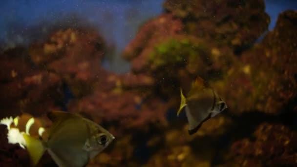 Aquarienfische im Aquarium. Kaiserfisch