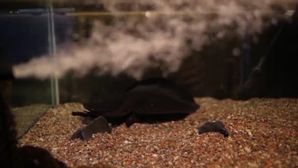 Fische-Rochen im aquarium