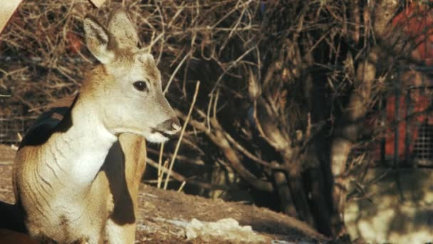 european roe deer on the background of twigs (capreolus capreolus)