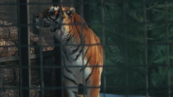 tigre dellAmur in una gabbia dello zoo (panthera tigris altaica)