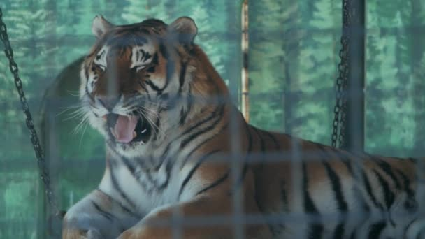 the amur tiger lies in a cage of a zoo (panthera tigris altaica)