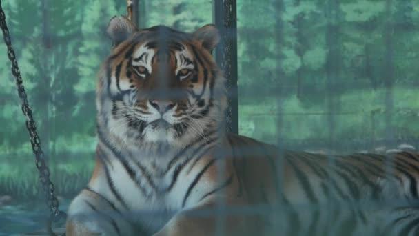 la tigre dellamur si trova in una gabbia di uno zoo (panthera tigris altaica)