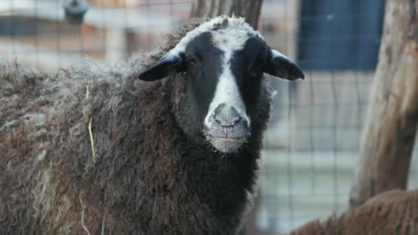 domestic ram chewing food (ovis)