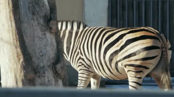 beautiful zebra goes to the zoo pen (hippotigris)