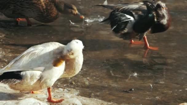 white duck bathes in a pond frozen (anas platyrhynchos)