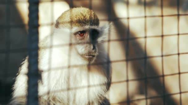 green monkey behind bars (chlorocebus sabaeus)