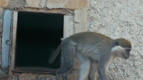 two green monkeys near the door of his house (chlorocebus sabaeus)