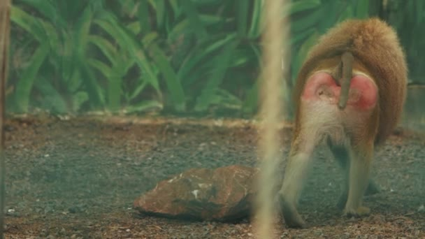 the baboon goes and then sits on the ground.monkey at the zoo (papio cynocephalus)