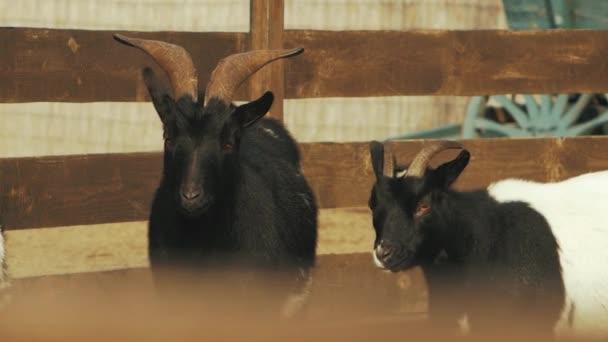 two goats on a farm in the barnyard (capra hircus)