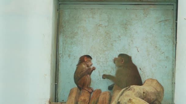 baboon female with cub eat on wooden bars (papio cynocephalus)
