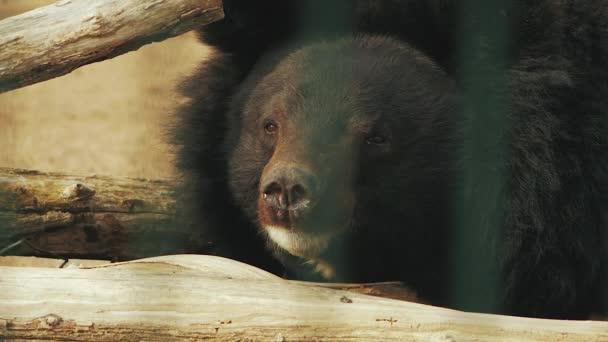 ussuri bear lies near the branches (ursus thibetanus)