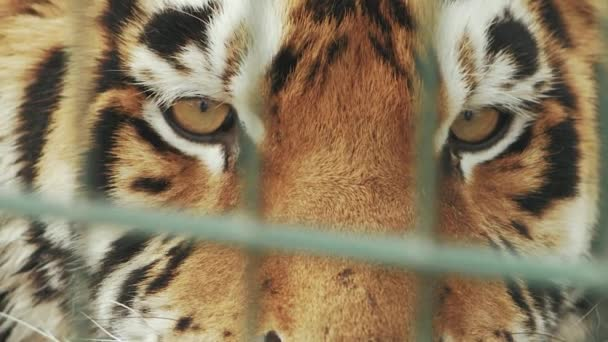 muzzle of amur tiger close up behind bars (panthera tigris altaica)