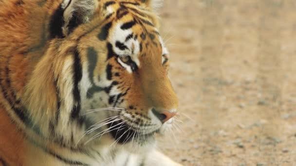 Amur tigris ásít. a fenevad vigyor