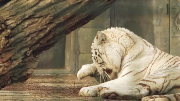 tigre di Bengala bianca si lava la faccia (panthera tigris bengalensis)