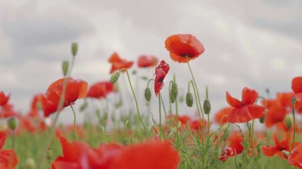Red poppy flowers blooming in green spring field. poppies in the meadow. wild poppy field. 4 k video