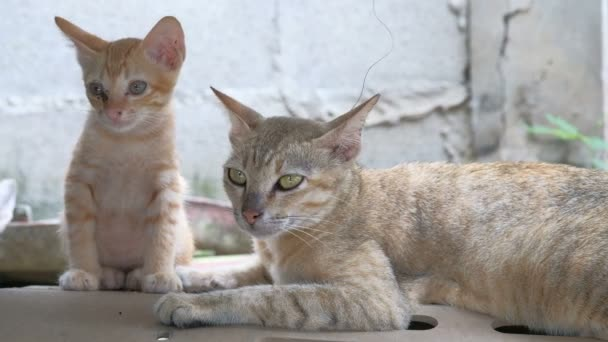 Portrait of thai cat on the wall. Cat on the house wall looking at camera.