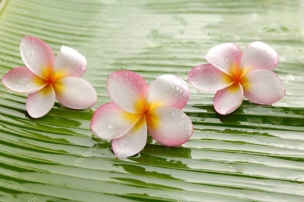 Three Pink frangipani and stones on wet banana leaf