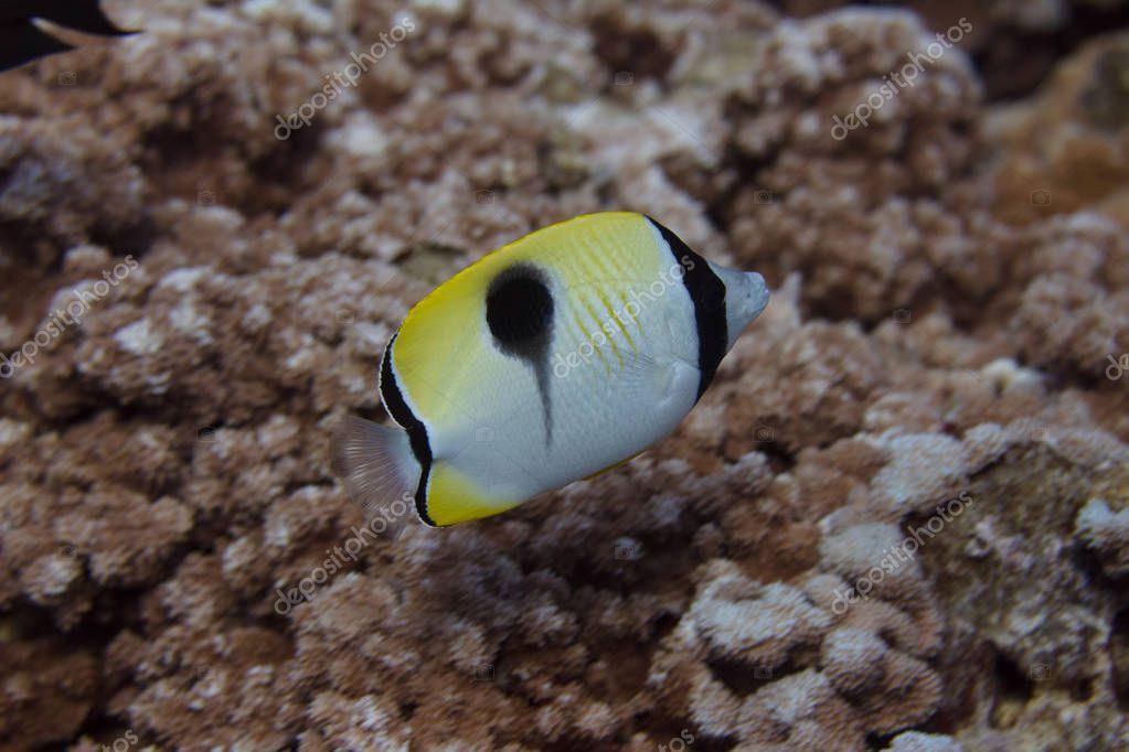 Teardrop Butterflyfish on Coral Reef off Maui Hawaii